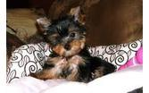 Tel:(612) 213-1676 Teacup Y.o.r.k.i.e Puppies For sale .Males and females available with de-wormings