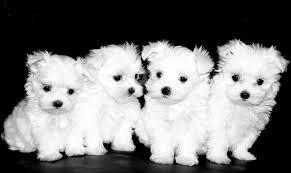 Cute Potty Trained M.a.l.t.e.s.e Pups for New Home
