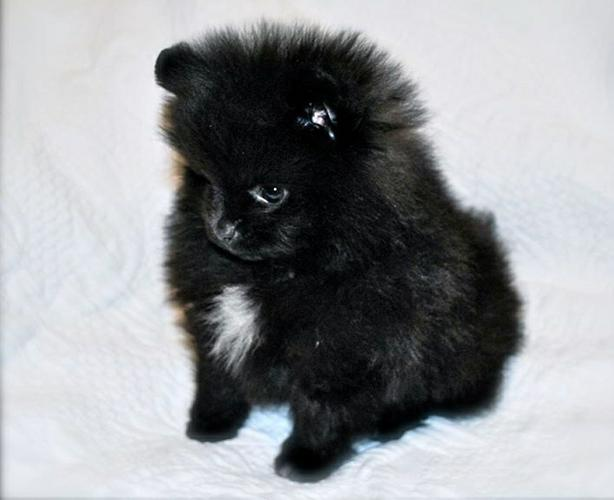 Outstanding White and Black Pomeranian Kc  for adoption
