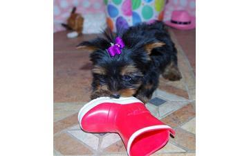 ?Y.o.R.k.i.e P.upp.i.e.s For F.r.e.e, (782 821 0989/Ready Now 12 Weeks Old #