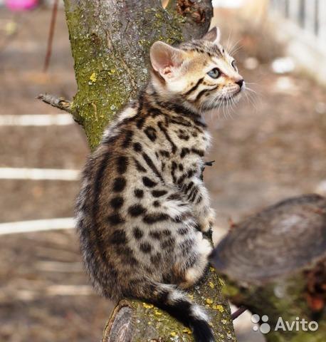 Purebreed Bengal Kittens