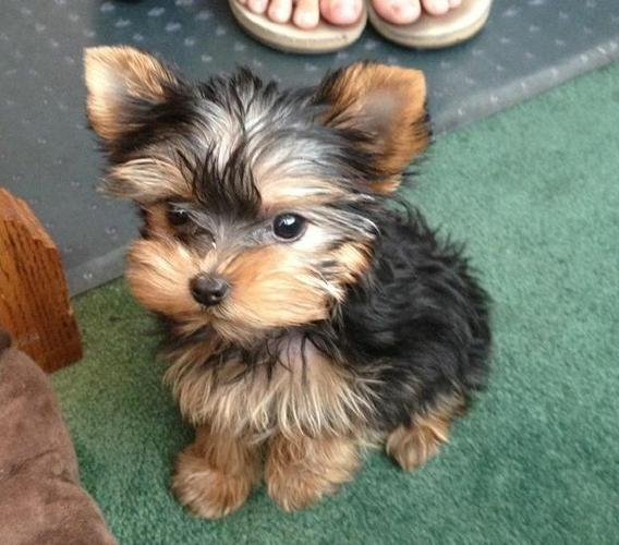 Yorkshire Terrier Puppies. text .(815 317 4959/