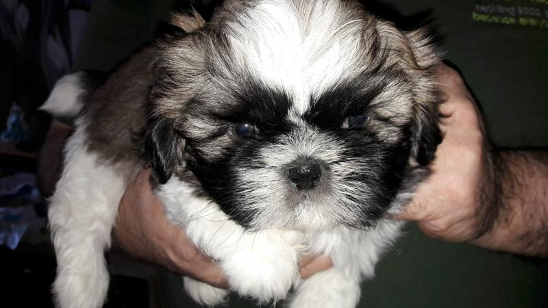 S.h.i.h T.z.u P.upp.i.e.s For F.r.e.e, Ready Now 3 months Old # contct ***(201) 882-4540