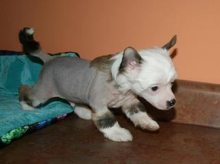 Chinese Crested Hairless Puppies