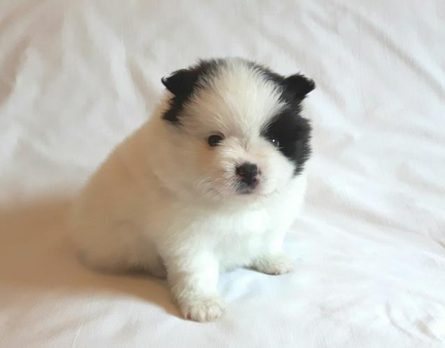 Gorgeous Teacup P.O.M Puppies For Rehome Contact# NOW .Males and females available..Interested perso