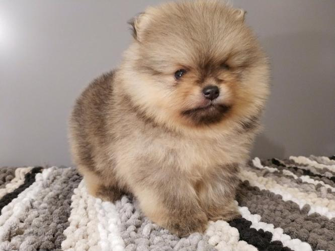 Pomeranian puppies for sale.