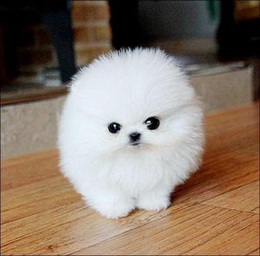 Pomeranianss Puppies Available(240) 317-4422