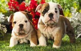 Beautiful english bulldog Puppies Willing To Go Now(806) 410-0551