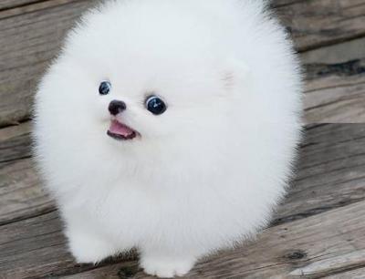 Smart P.O.m.A.R.A.N.I.A.N puppies!!!(401) 552-3916