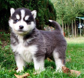 S.I.B.E.R.I.A.N H.U.S.K.Y Puppie.s awaiting new homes