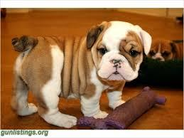 FREE*FREE well behaved FREE*FREE E.n.g.l.i.s.h B.u.l..l.d.o.g Puppies looking for good Home EMAIL fo