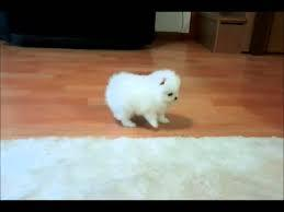 !!Male and Female Pomeranianss Puppies Available (313) 462-1024