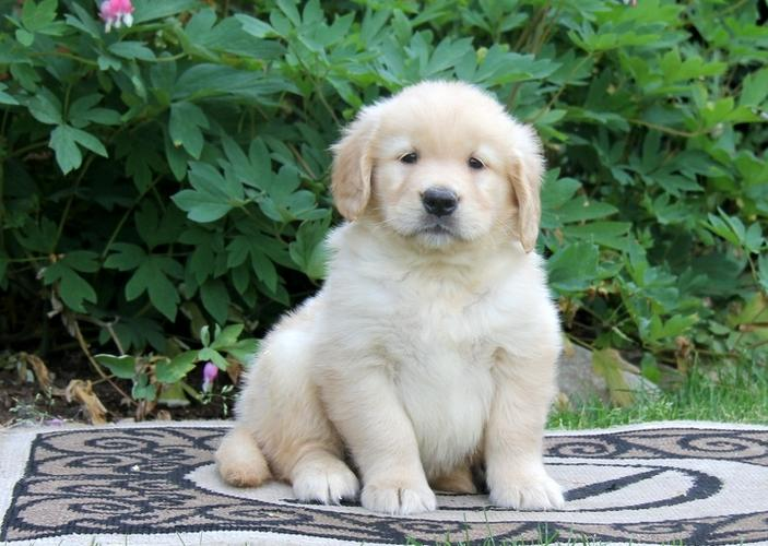 Cute G.O.L.D.E.N R.E.T.R.I.E.V.E.R Puppie.s