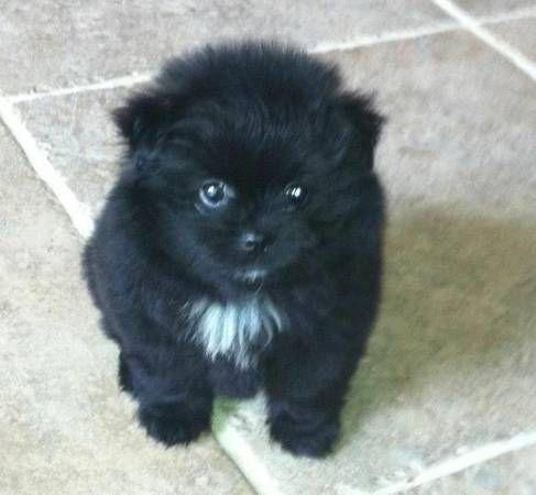 Pomeranianss Puppies 386 444 2075