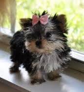 A Cute Quality Y.o.r.k.i.e P.u.p.s.(484) 381-0472