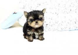 Two CUTE Y.o.r.k.i.e Puppies(484) 381-0472