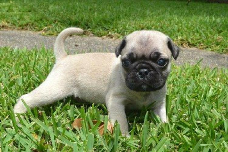 Affectionate M/F P.U.G Puppies!!!