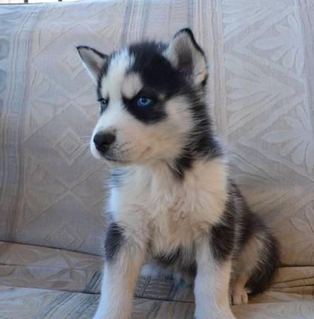 Quality siberians huskys Puppies:contact us at (218)-302-4719