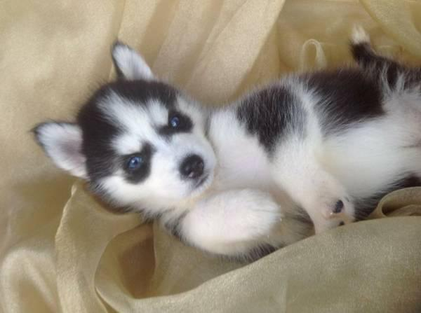 FREE Quality siberians huskys Puppies:contact us at(240) 671-0234