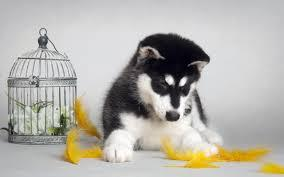 FREE Quality siberians huskys Puppies:contact us at(303) 536-8433