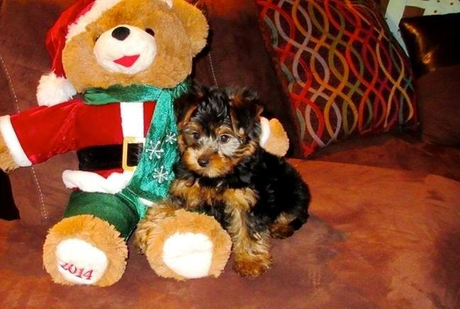 Tiny Y.o.r.k.i.e Puppies ... (430) 702-2208