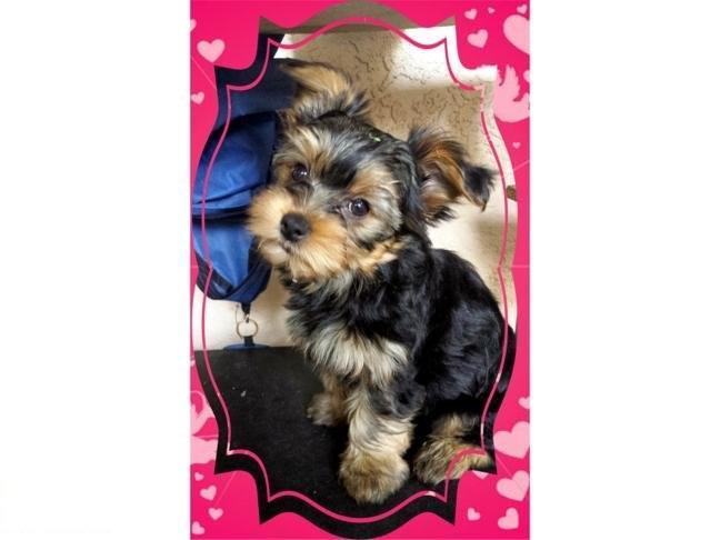 Tiny Y.o.r.k.i.e Puppies ... (430) 702-2208