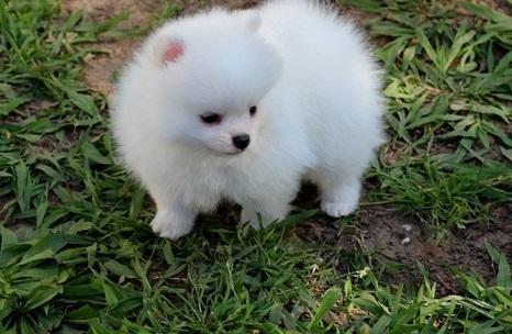 Healthy p.o.m.e.r.a.n.i.a.n  Puppie.s puppies!!! (214) 400-6394