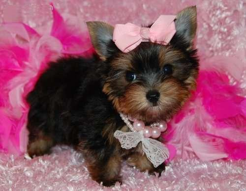 *Top Quality Short Y.o.r.k.i.e puppies (254) 442-8142