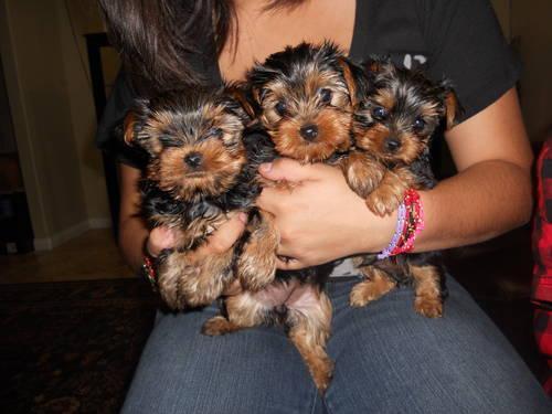 *Top Quality Short Y.o.r.k.i.e puppies (254) 442-8142