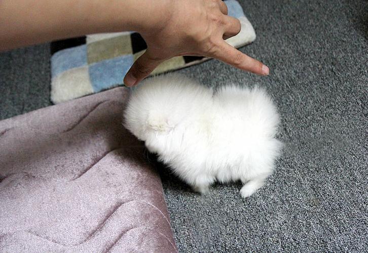 fghfghfghff Healthy p.o.m.e.r.e.n.i.a.n Puppie.s puppies!!!(508) 622-5152