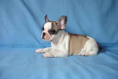 ** F.R.E.N.C.H B.U.L.L.D.O.G  p.u.p.p.i.e.s For sale ..Males and females available*.