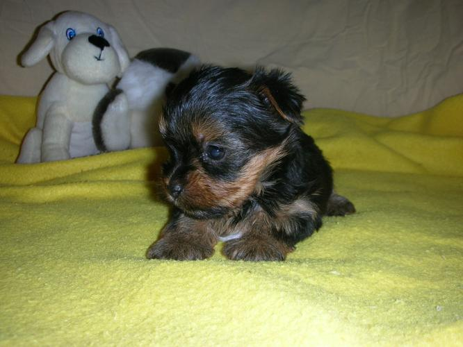 ?Y.o.R.k.i.e P.upp.i.e.s For F.r.e.e, (678) 718-5975/Ready Now 12 Weeks Old #