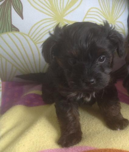 Gorgeous Teacup Y.o.r.k.i.e Puppies For Rehome Contact# NOW .Males and females available..Interested