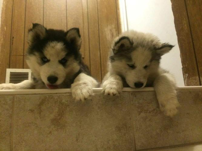 husky puppies!!! full breed
