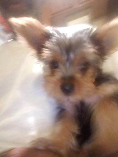 Cute and cuddly Yorkie purebred puppies