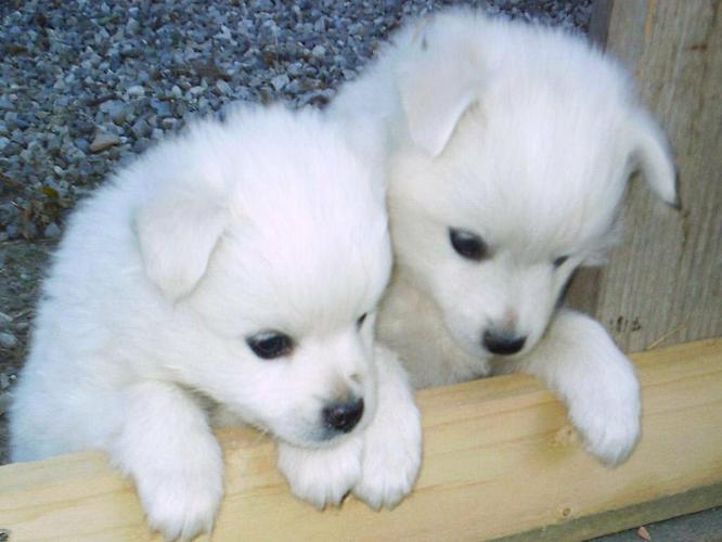 CUTE S.I.B.E.R.I.A.N H.U.S.K.Y Puppies: contact us at (443) 375-3153