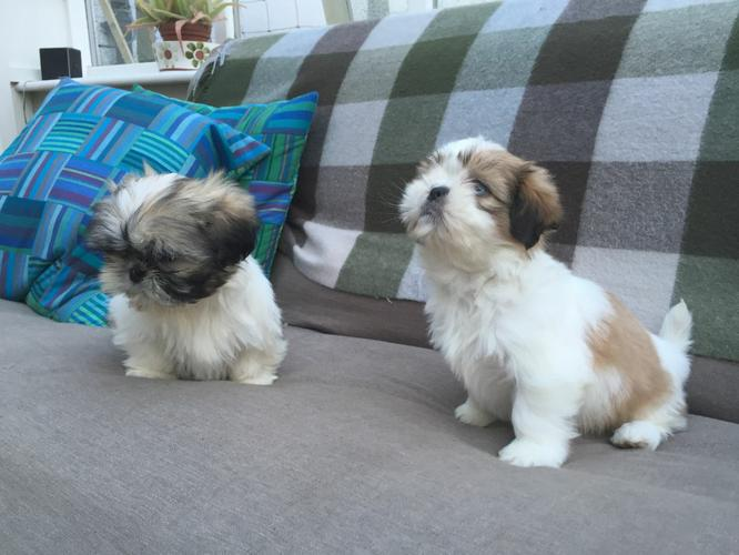 Stunning litter of Shih Tzu Puppies are now 12 weeks old and are ready to go to their new forever ho