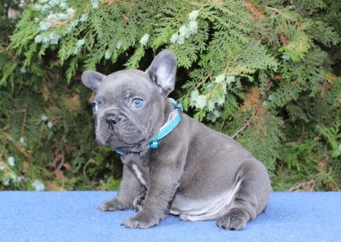 Purebred Blue French Bulldog Puppies