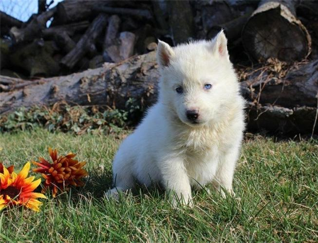 Black and White S.I.B.E.R.I.A.N .H.U.S.K.Y Puppies (412) 423-6575