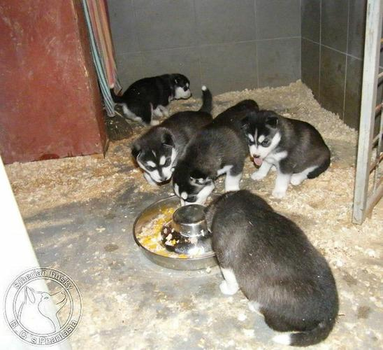 Quality siberians huskys Puppies:contact us at (410) 650-5855