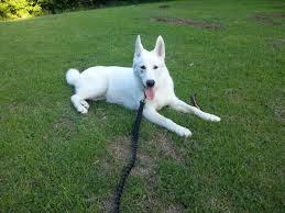 Quality siberians huskies Puppies: