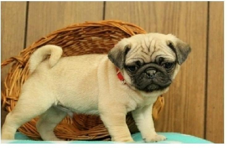 Two Gorgeous P.u.g.  Puppies Available--()(