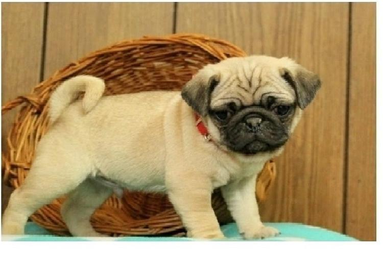 Two Gorgeous P.u.g.  Puppies Available=--==
