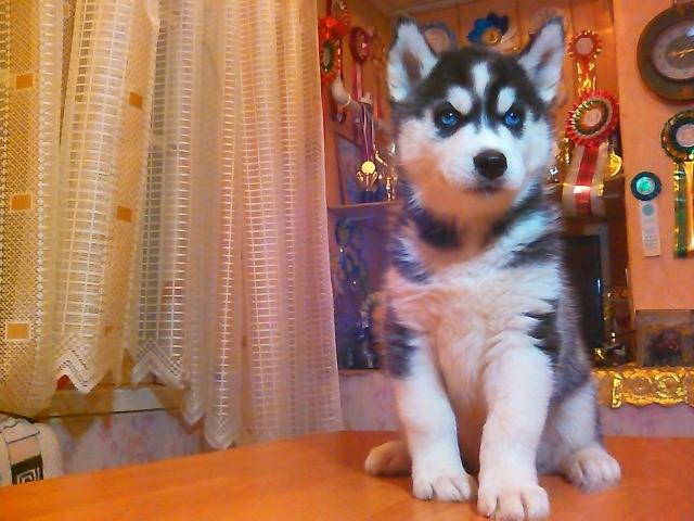 Male & Female Siberin Husky pups available