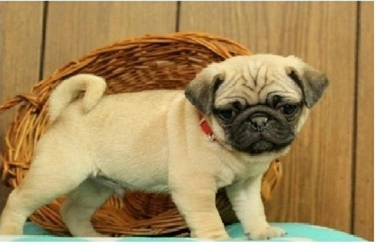 Two Gorgeous P.u.g.  Puppies Available--==_)