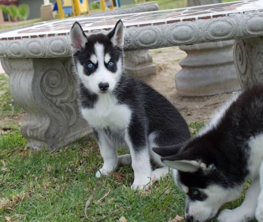 Pretty Female and Male s.i.b.e.r.i.a.n. h.u.s.k.y puppies (908) 336-7937