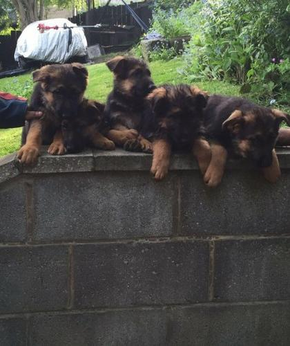 !!@#GERMAN S.H.E.P.H.E.R.D P.U.P.P.I.E.S: FOR GOOD HOMES !!#@contact us