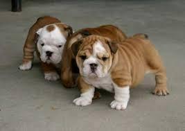 Cute ENGLISH BULLDOGS PUPPIES(717) 739-6675