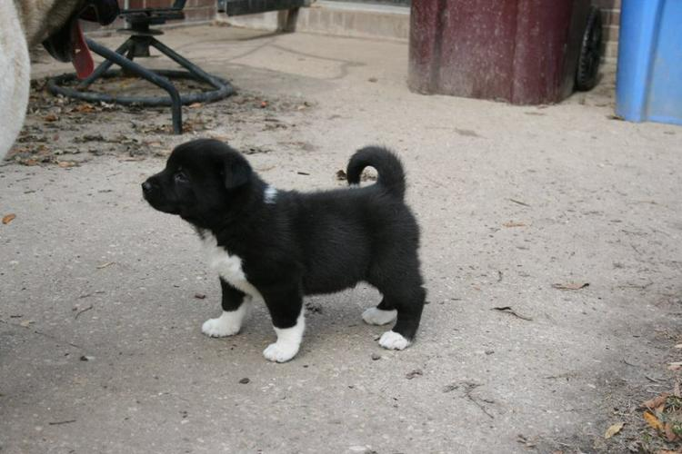 lovely A.k.i.t.a Puppies Available.