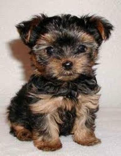 %$%Cute Female and Male Yo.rrkkiee Pu.pp.ies available %$%(757-315-6422)